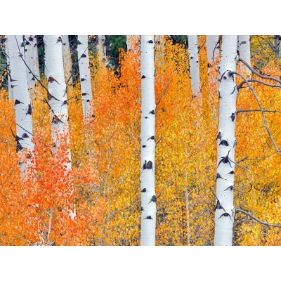 Fall Aspen Tree No2 - Outdoor Wall Art Piece