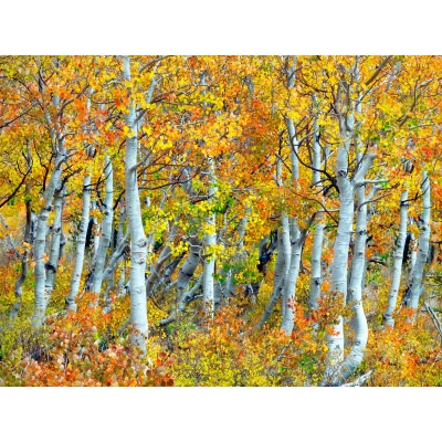 Trunks Of Aspen Trees Outdoor Wall Art Piece