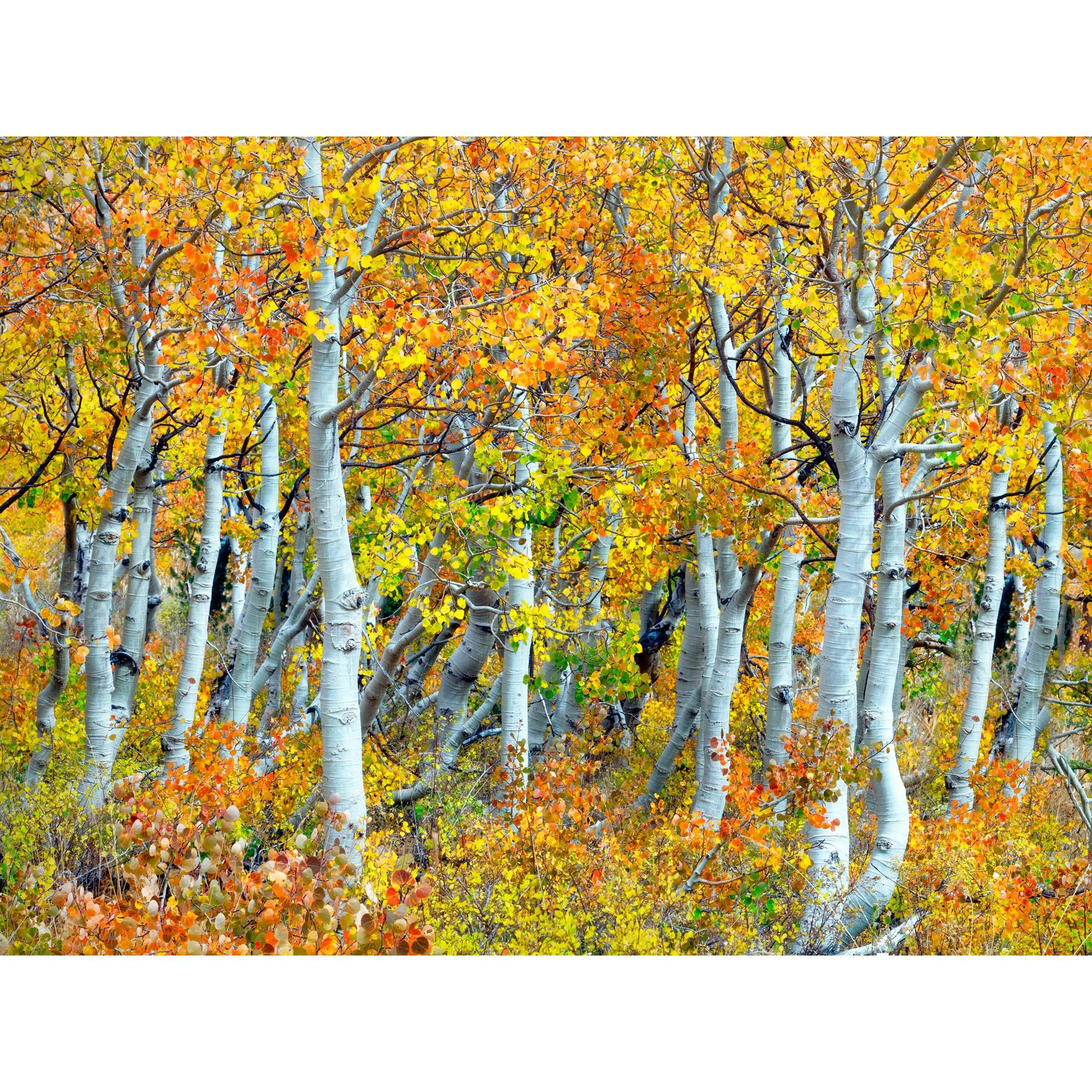 Trunks of aspen trees outdoor wall art piece by West of the Wind ...