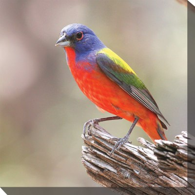 Painted Bunting Outdoor Wall Art Piece