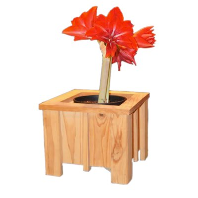 Small Cypress Planter with Amaryllis Bulb